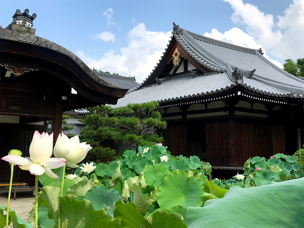 Hokongo in temple with lotus welcome to kyoto the pond in the precinct is covered with lotus leaves at this time like a jungle there a lot of buds were found so the flowering is expectable from now izmirmasajfo